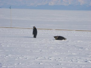 A couple penguins out for a stroll